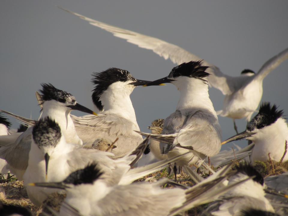 Marais du Vigueirat : Stratégie de conservation des laro-limicoles coloniaux - Camargue